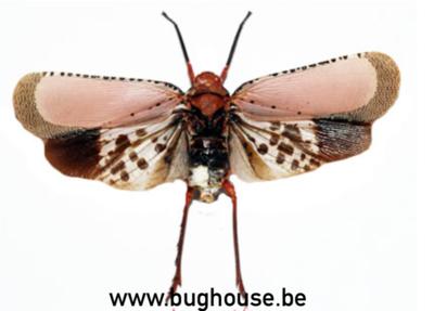 Kalidasa Nigromaculata ( Thailand) ♂︎/♀︎