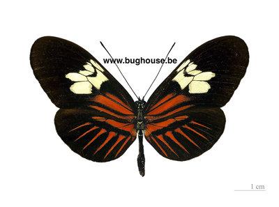 Heliconius Melpomene (Peru)