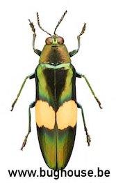 Chrysochroa Saundersi (Thailand)