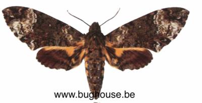 Coelonia fulvinotata (Cameroon) ♂︎/♀︎