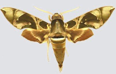 Daphinis Hypothous (Sulawesi)