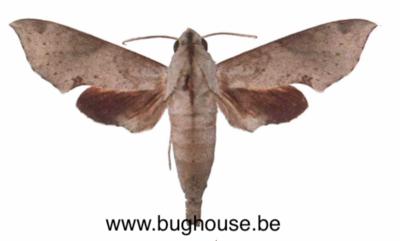 Temnora Livida (Cameroon) ♂︎