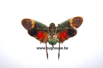 Penthicodes Farinosa ssp. (Sulawesi) SPREAD