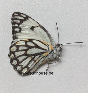 Belenois Aurota (Madagascar)