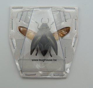 Chrysodema Elongata (Kei) SPREAD
