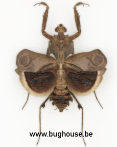 Deroplatys fruncata (Java) GESPREID