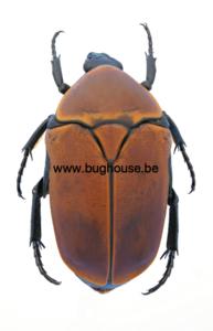 Pachnoda marginata aurantia (RCA)