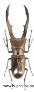 Cyclommatus metallifer Finae (Peleng) ♂