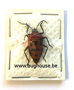 Shieldbug SP5 (Java) ♂︎/♀︎