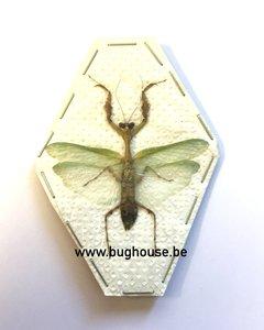 Mantidae SP3 (Java) ♂︎/♀︎ **SPREAD**