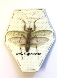 Mantidae SP1 (Java) ♂︎/♀︎ **SPREAD**