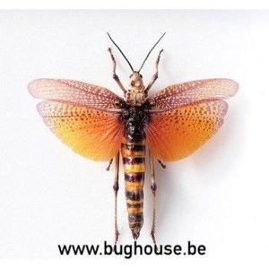 Phymateus aegrotus (RCA) FEMALE