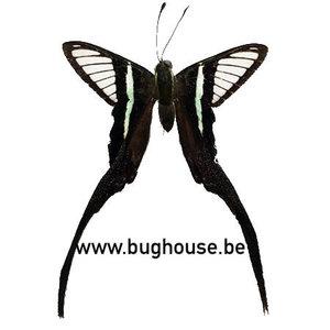 Lamproptera meges (Sulawesi)