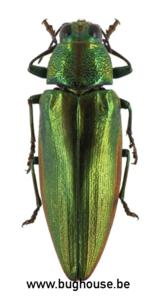 Chrysochroa Purpuriventris (Sulawesi) ♂︎/♀︎