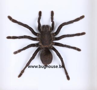 Haplopelma minax (Thailand) (Large) ♂︎/♀︎