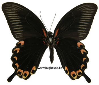 Papilio Deiphobus (Ceram)