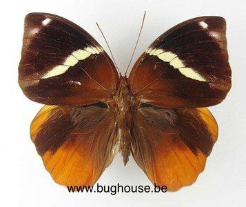 Thauria aliris aliris (Malaysia)