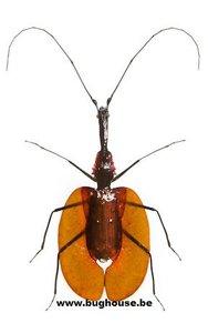 Mormolyce phyllodes (Malaysia)