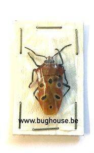 Shieldbug SP2 (Java) ♂︎/♀︎