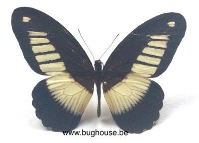 Papilio cynorta (RCA) front