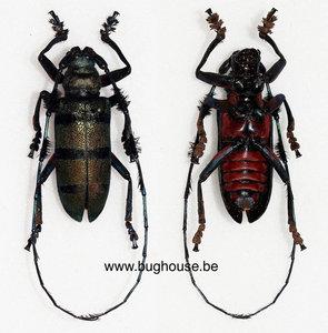 Diastocera wallichi tonkinensis  (Thailand) MALE