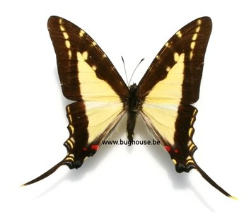 Eurytides dioxippus lancandones (Peru)