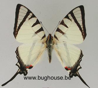 Graphium agetes (Laos)