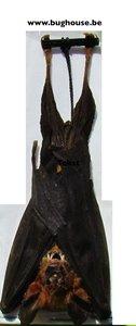 Hipposideros larvatus -hanging- (Indonesia)