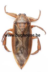 Lethocerus Oculatus (Madagascar) ♂︎/♀︎