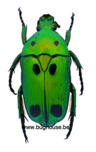 Heterorrhina Sexmaculata sexmaculata (Sumatra)