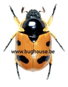 Rutelarcha Quadrimaculata (Kalimantan)♂︎