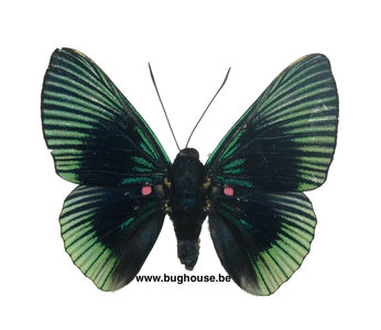Lyropteryx appollonia (Peru)