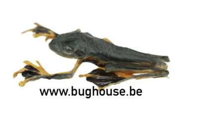 Rhacophorus Reinwardtii Sitting (Java)