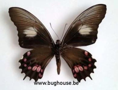 Papilio Isidorus (Peru) ♂︎