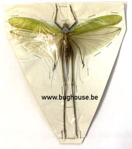 Acrididae sp. (Java) **SPREAD**  ♂︎