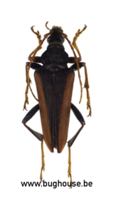 Mastododera Lateralis (Madagascar) ♂︎/♀︎