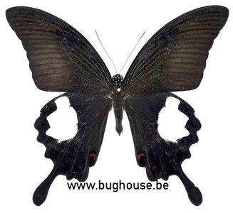 Papilio Iswara iswara (Malaysia)