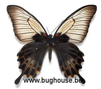 Papilio Lowi suffusus (Philippines)