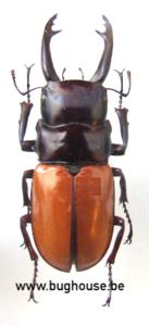 Odontolabis Sarasinorum (Sulawesi) ♂︎