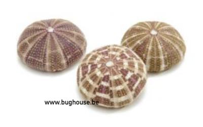 Sea urchin alfonso