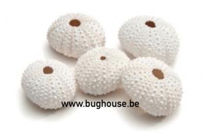 Sea urchin white