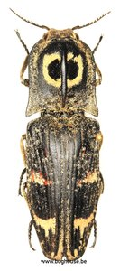 Lycoreus Regalis (Madagascar)