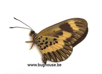 Acraea Oberthueri (Afrika)  A-