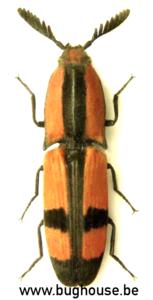 Abiphis nobilis (Madagascar)   ♂︎/♀︎
