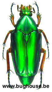 Chalcothea Resplendens (Java)