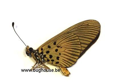 Acraea Althoffi sp. RCA)