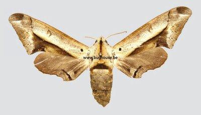 Pseudoclanis Rhadamistus (Kamerun)