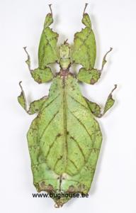 Phyllium Giganteum FEMALE (Malaysia)