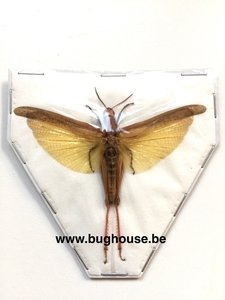 Eucoptacara Ceylonica (Java)