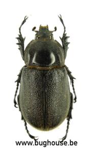 Heterogomphus hirtus (Argentina)